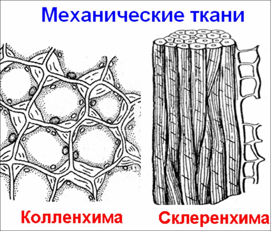 рисунки механической ткани растений